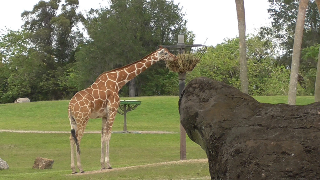 Giraffe enjoying his lunch while construction continues nearby