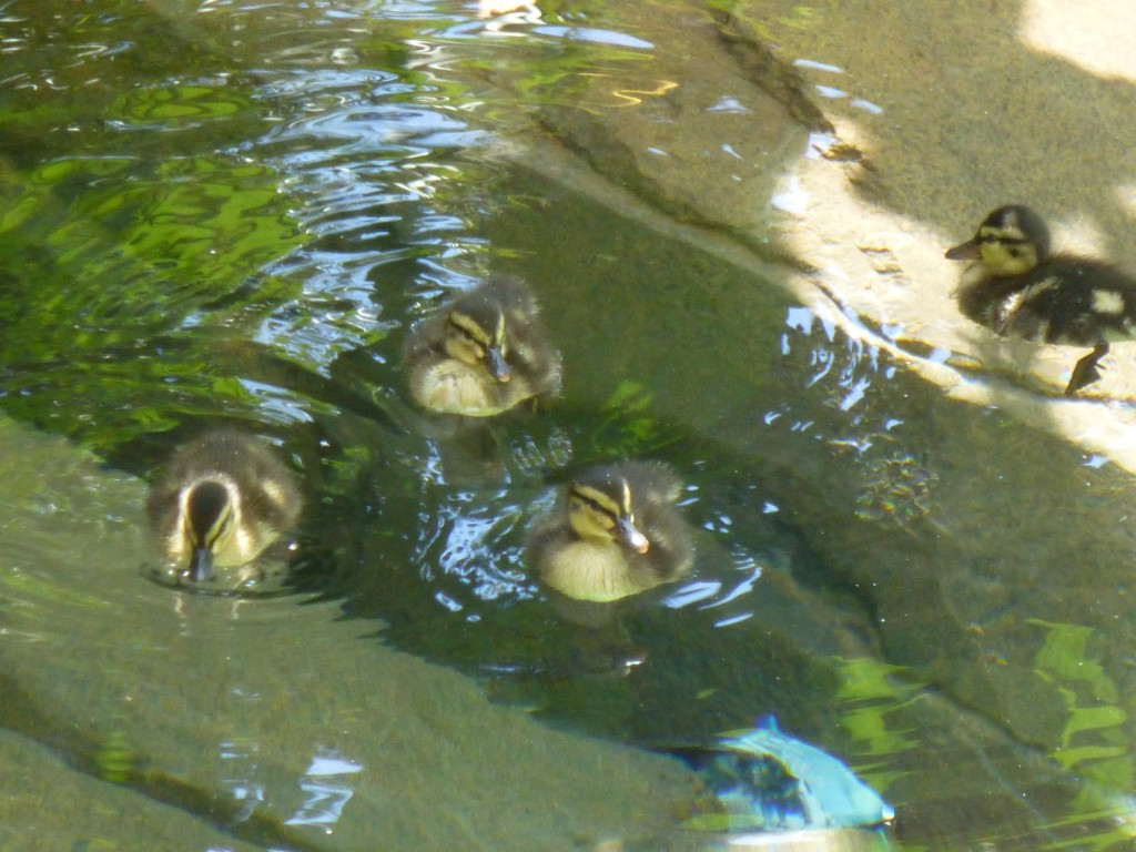 I leave you with a picture of some swimming duckies near Camp Jurassic. Awwww.