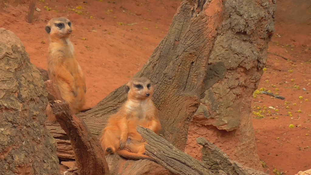 Meerkats and Lions agree...